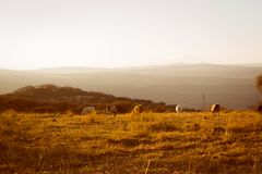 Cows eating grass on the hill at sunset stock image