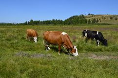 Cows grazing in a meadow Royalty Free Stock Photos