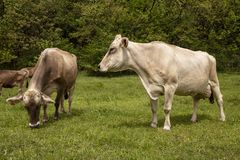 Cows grazing on the meadow royalty free stock photo
