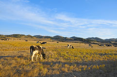 Cows grazing in Menorca, Balearic Islands, Spain Royalty Free Stock Image