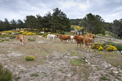 Cows grazing in the mountain Stock Images