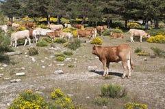 Cows grazing in the mountain Stock Photos