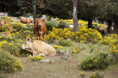 Cows grazing in the mountain Royalty Free Stock Images