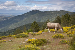 Cows grazing in the mountain Stock Image