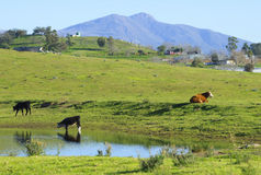Cows grazing  on mountain hills with a pound Stock Photography