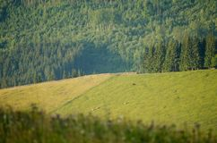Mountain pasture with grazing cows. Royalty Free Stock Images