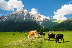 Cows grazing on a mountain meadow Stock Photography