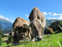 Cows grazing in mountain pasture Stock Images