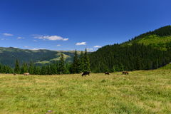 Cows grazing on mountain plateau Royalty Free Stock Photos