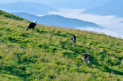 Cows grazing in the mountain meadow Stock Image