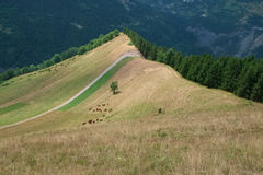 Cows grazing on a mountain slope Stock Image