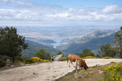 Cows grazing in the mountain Stock Photo