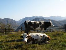 Cows in grazing Stock Photo