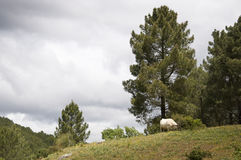 Cows grazing in the mountain Royalty Free Stock Photography