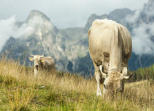 Cows. Grazing in the mountains Stock Photo