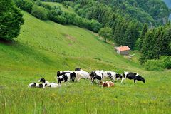 Cows grazing in the mountains Stock Photo