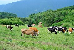 Cows grazing in the mountains Royalty Free Stock Images