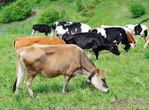 Cows grazing in the mountains Royalty Free Stock Image