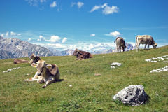 Cows grazing in the mountains. Some cows resting on the grass in the high mountains Royalty Free Stock Image