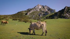 Cows grazing in the mountains stock video