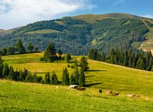 Cows grazing near conifer forest in mountains. Lovely rural landscape in summer royalty free stock photography
