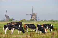Cows grazing near a mill. Dutch Cows grazing near mills in Kinderdijk Royalty Free Stock Photography