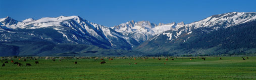 Cows grazing near the Sierra Mountains Royalty Free Stock Photography