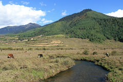 Cows are grazing near a stream in the valley of Phojika (Bhutan) Royalty Free Stock Photos