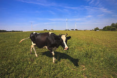 Cows grazing near wind turbines Royalty Free Stock Image