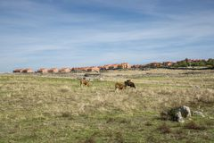 Cows grazing next to the city of Colmenar Viejo. Province of Madrid, Spain Stock Image