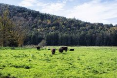 Cows grazing in an open field. A herd of cows grazing in a meadow in Cornwall Connecticut on an autumn day in new england stock photos