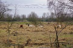 Cows grazing Stock Images