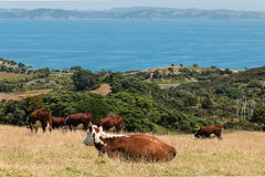 Cows grazing on paddock Royalty Free Stock Photo