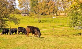 Cows Grazing in Pasture. Several cows peacefully grazing in the pasture on a sunny autumn day Stock Photography