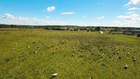 Cows grazing on pasture. Aerial view cows graze on a green pasture on a summer day. Herd cows on a summer pasture. Aerial footage, 4K video stock video
