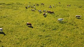Cows grazing on pasture stock video