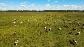 Cows grazing on pasture stock footage