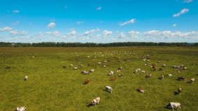 Cows grazing on pasture. Aerial view cows graze on a green pasture on a summer day. Herd cows on a summer pasture. Aerial footage, 4K video stock video footage