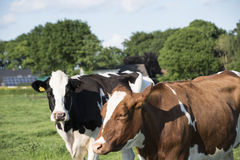 Cows grazing on pasture - animals at the farm. In summer stock photos