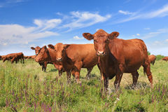 Cows grazing. On pasture in a beautiful sunny day stock images