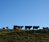 Cows grazing on pasture and blue sky background. 1 Royalty Free Stock Photography