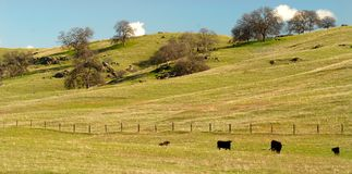 Cows grazing in a pasture in the California hills Stock Photography