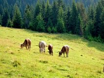Cows grazing on a pasture in Carpathians, Ukraine Stock Images