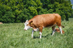 Cows grazing on the pasture. Cow grazing on the pasture. Nature fauna and flora Stock Photos