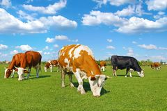 Cows grazing on pasture. Near the village, landscape stock image