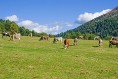 Cows grazing in pasture dolomites Stock Photos