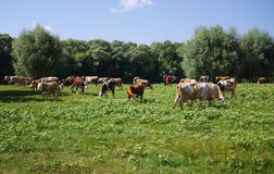 Cows grazing on pasture. Domestic cattle Royalty Free Stock Photos
