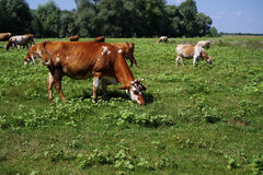 Cows grazing on pasture. Domestic cattle Stock Photo