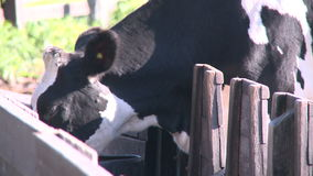 Cows grazing in pasture (1 of 9) stock video footage