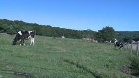 Cows grazing in pasture (7 of 9). Cows feeding in a beautiful pasture stock video footage